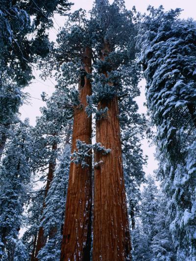 Giant Sequoia Tree Sequoia National Park, California, USA-Rob Blakers-Photographic Print