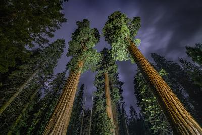 Giant Sequoia Trees in the Old Growth Forest of California's Sequoia National Park-Keith Ladzinski-Photographic Print