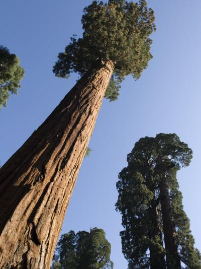 Giant Sequoia Trees (Sequoiadendron Giganteum)-Rich Reid-Photographic Print