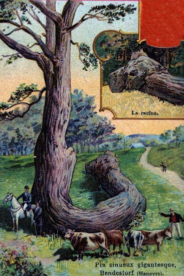Giant Sinuous Pine Tree and its Root, at Bendestorf, Near Hanover, Germany, 1901--Giclee Print