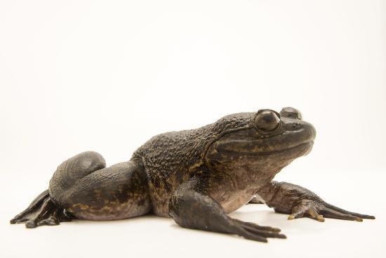 Giant slippery frog, Conraua robusta, from the wild.-Joel Sartore-Photographic Print