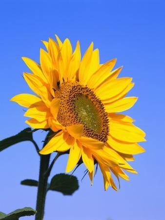 https://imgc.artprintimages.com/img/print/giant-sunflower_u-l-pzlo250.jpg?p=0