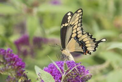 Giant Swallowtail Butterfly on Butterfly Bush, Marion County, Il-Richard and Susan Day-Photographic Print