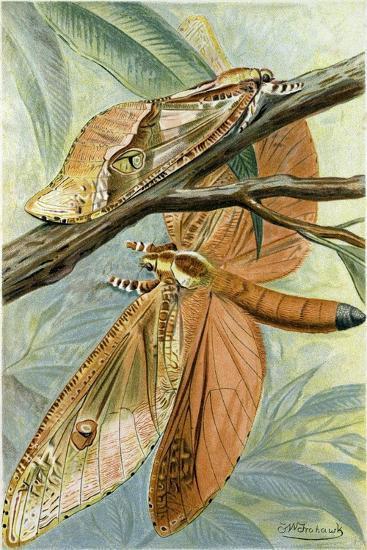 Giant Swift Moth--Giclee Print