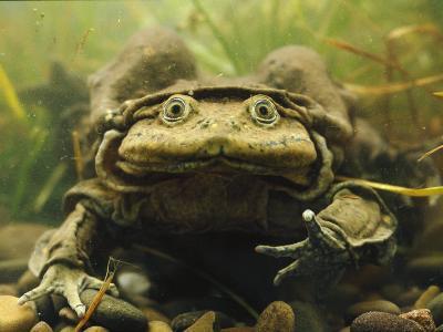 Giant Titicaca Lake Frog, Lake Titicaca, Bolivia / Peru-Peter Oxford-Photographic Print