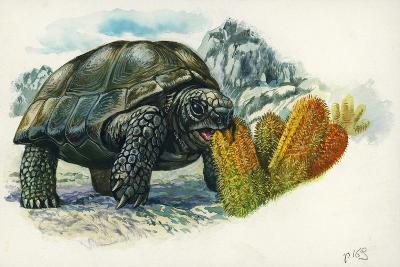 Giant Tortoise Eating Cactus--Giclee Print