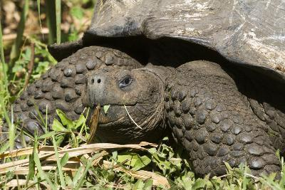 Giant Tortoise, Highlands of Santa Cruz Island, Galapagos Islands-Diane Johnson-Photographic Print