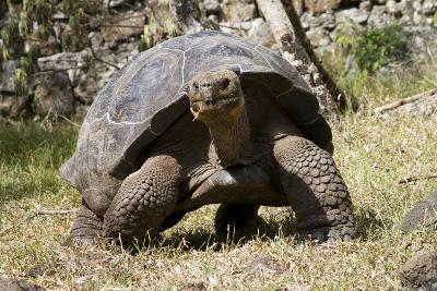 Giant Tortoise in Highlands of Floreana Island, Galapagos Islands-Diane Johnson-Photographic Print