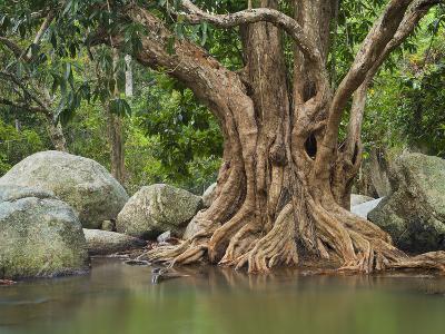 Giant Tree at River Than Sadet, Island Koh Phangan, Thailand-Rainer Mirau-Photographic Print