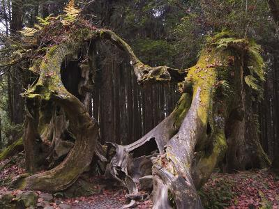 Giant Tree Trunk in Cedar Forest, Alishan National Forest Recreation Area, Chiayi County, Taiwan-Christian Kober-Photographic Print
