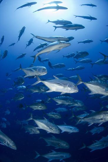 Giant Trevally (Caranx Ignobilis) Shoal Schooling-Mark Doherty-Photographic Print