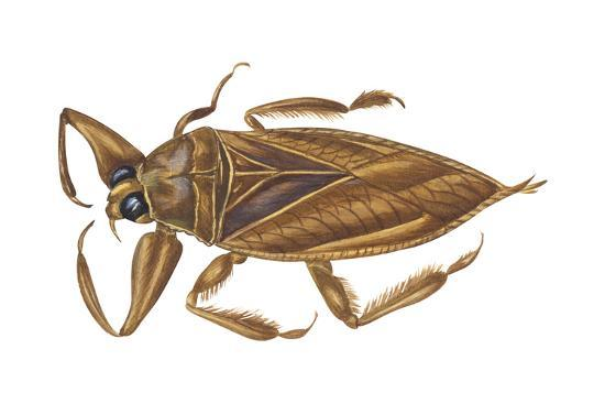 Giant Water Bug (Lethocerus Americanus), Electric Light Bug, Insects-Encyclopaedia Britannica-Art Print
