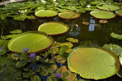 Giant Water Lilies, Wintergardens, Auckland Domain, Auckland, North Island, New Zealand-David Wall-Photographic Print