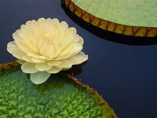 Giant Water Lily, Pantanal, Brazil-Frans Lanting-Photographic Print