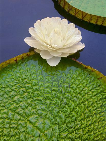 Giant Water Lily, Victoria Regia, Pantanal, Brazil-Frans Lanting-Photographic Print