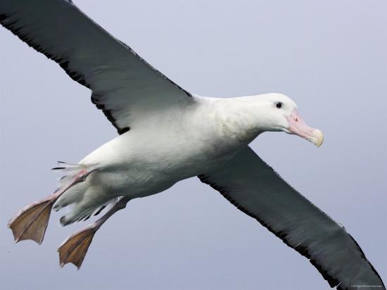 Gibson's Albatross, Kaikoura, New Zealand-David Wall-Photographic Print