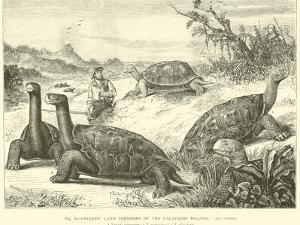 Gigantic Land Tortoises of the Galapagos Islands