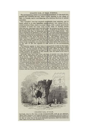 Gigantic Oak, at Bale, Norfolk--Giclee Print