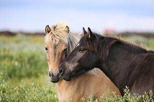 Icelandic Horse by Gigja Einarsdottir
