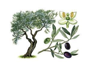 Olive (Olea Europaea) by Giglioli E.