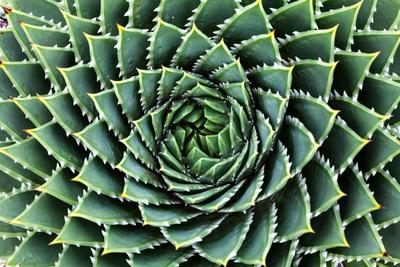 Spiral Aloe-Aloe Polyphylla