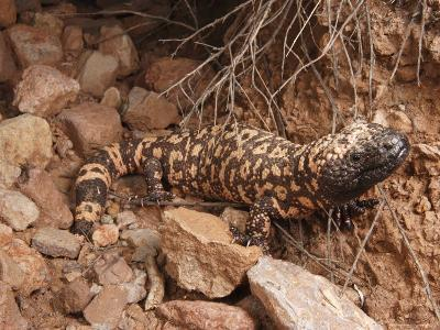 Gila Monster, Heloderma Suspectum, Out on an Evening Forage-George Grall-Photographic Print