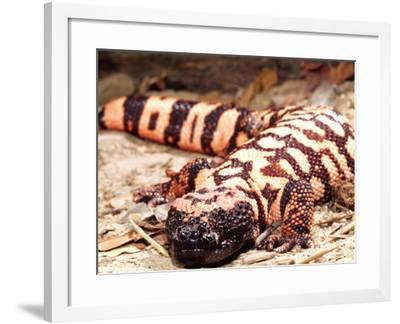 Gila Monster, Native to Southwestern USA-David Northcott-Framed Photographic Print