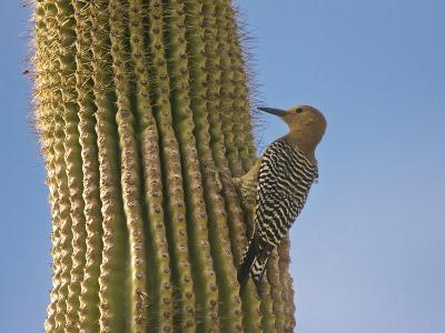 Gila Woodpecker on Saguaro, Saguaro National Park, Arizona, Usa-Michel Hersen-Photographic Print