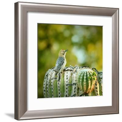 Gila Woodpecker-Yuko Smith photography-Framed Photographic Print