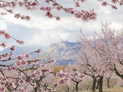 Spring Almond Blossom, Andalucia, Spain, Europe