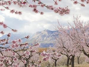 Spring Almond Blossom, Andalucia, Spain, Europe by Giles Bracher