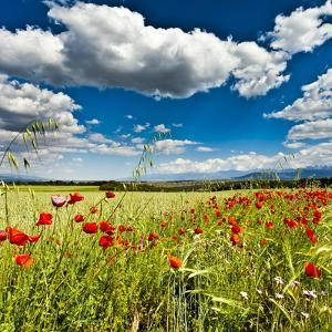 Wild Poppies (Papaver Rhoeas) and Wild Grasses in Front of Sierra Nevada Mountains, Spain by Giles Bracher