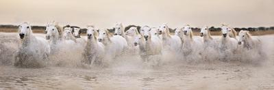 White Horses of the Camargue Galloping Through Water at Sunset by Gillian Merritt