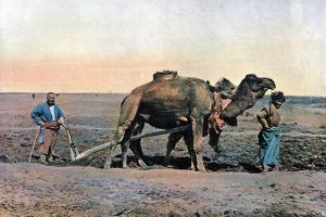 Farm Labourers Ploughing with a Camel, Caucasus, C1890 by Gillot
