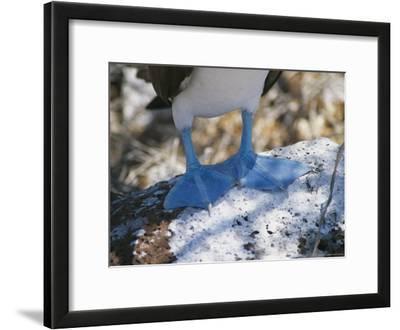 The Feet of a Blue Footed Booby Bird on Espanola Island