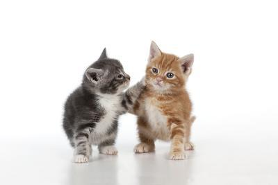 Ginger and Grey Tabby Kittens Playing--Photographic Print