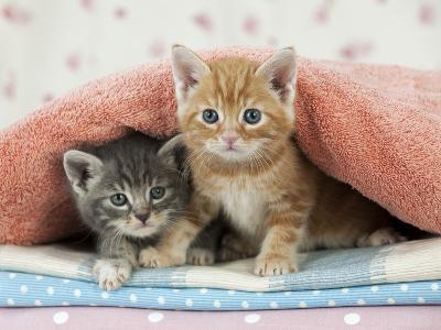 Ginger and Grey Tabby Kittens--Photographic Print
