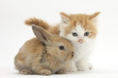 Ginger-And-White Kitten Baby Rabbit-Mark Taylor-Photographic Print