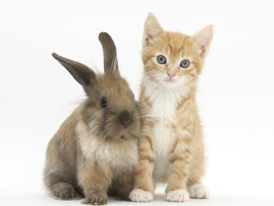 Ginger Kitten, 7 Weeks, and Young Lionhead-Lop Rabbit-Mark Taylor-Photographic Print