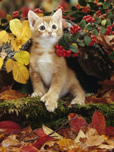 Ginger Kitten Among Autumn Leaves and Cotoneaster Berries, Note, Kitten Has Extra Toe (Polydactyl)-Jane Burton-Photographic Print