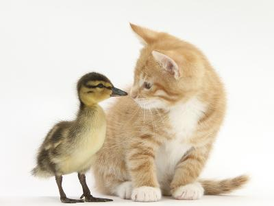 Ginger Kitten and Mallard Duckling, Beak to Nose-Mark Taylor-Photographic Print