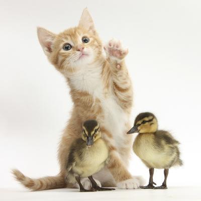 Ginger Kitten and Mallard Ducklings-Mark Taylor-Photographic Print
