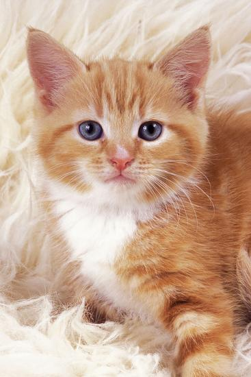 Ginger Kitten, Close-Up on Rug--Photographic Print