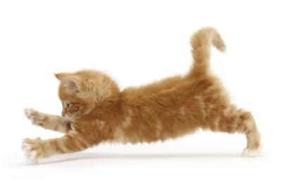 Ginger Kitten Jumping Forwards with Front Paws-Mark Taylor-Photographic Print