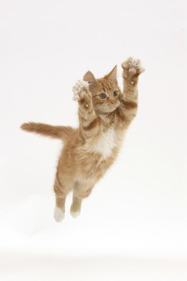 Ginger Kitten Leaping with Legs and Claws Outstretched-Mark Taylor-Photographic Print