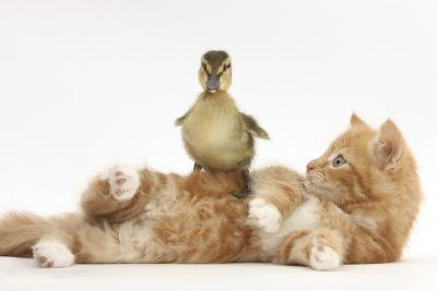 Ginger Kitten Lying on its Back with a Mallard Duckling Walking over It-Mark Taylor-Photographic Print
