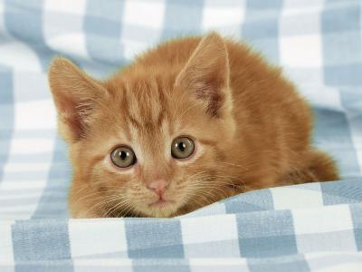 Ginger Kitten on Blue Gingham--Photographic Print
