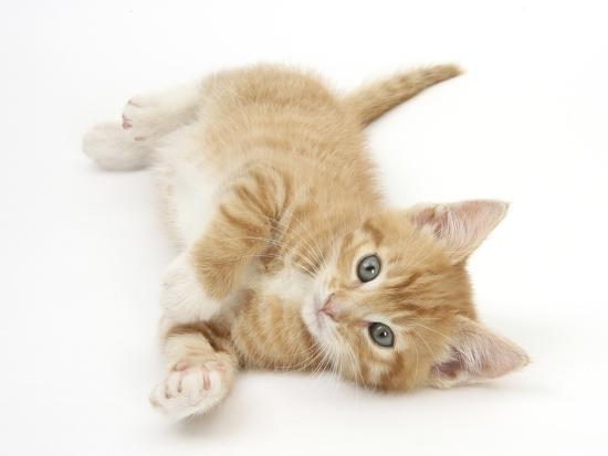 Ginger Kitten Rolling on His Back-Mark Taylor-Photographic Print
