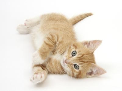 https://imgc.artprintimages.com/img/print/ginger-kitten-rolling-on-his-back_u-l-q10o9mu0.jpg?p=0