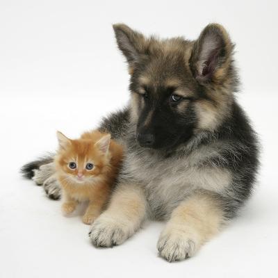 Ginger Kitten with German Shepherd Dog (Alsatian) Bitch Puppy, Echo-Mark Taylor-Photographic Print